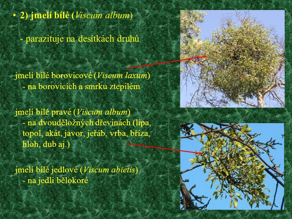 2) jmelí bílé (Viscum album) - parazituje na desítkách druhů