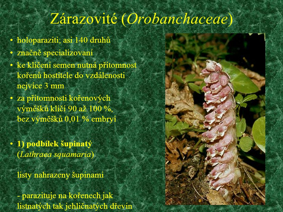 Zárazovité (Orobanchaceae)