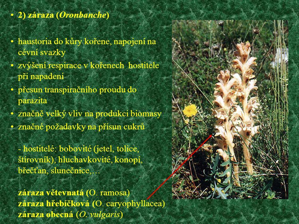 2) záraza (Oronbanche) haustoria do kůry kořene, napojení na cévní svazky. zvýšení respirace v kořenech hostitele při napadení.