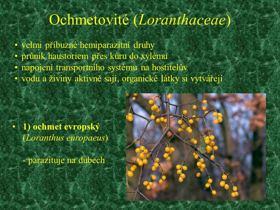 Ochmetovité (Loranthaceae)