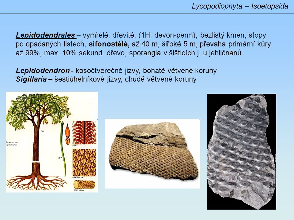 Lycopodiophyta – Isoëtopsida