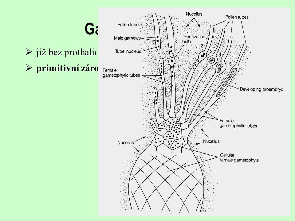 Gametofyt, oplození již bez prothaliové buňky