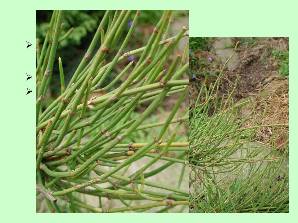 Charakteristika prutovité, bohatě větvené rostliny