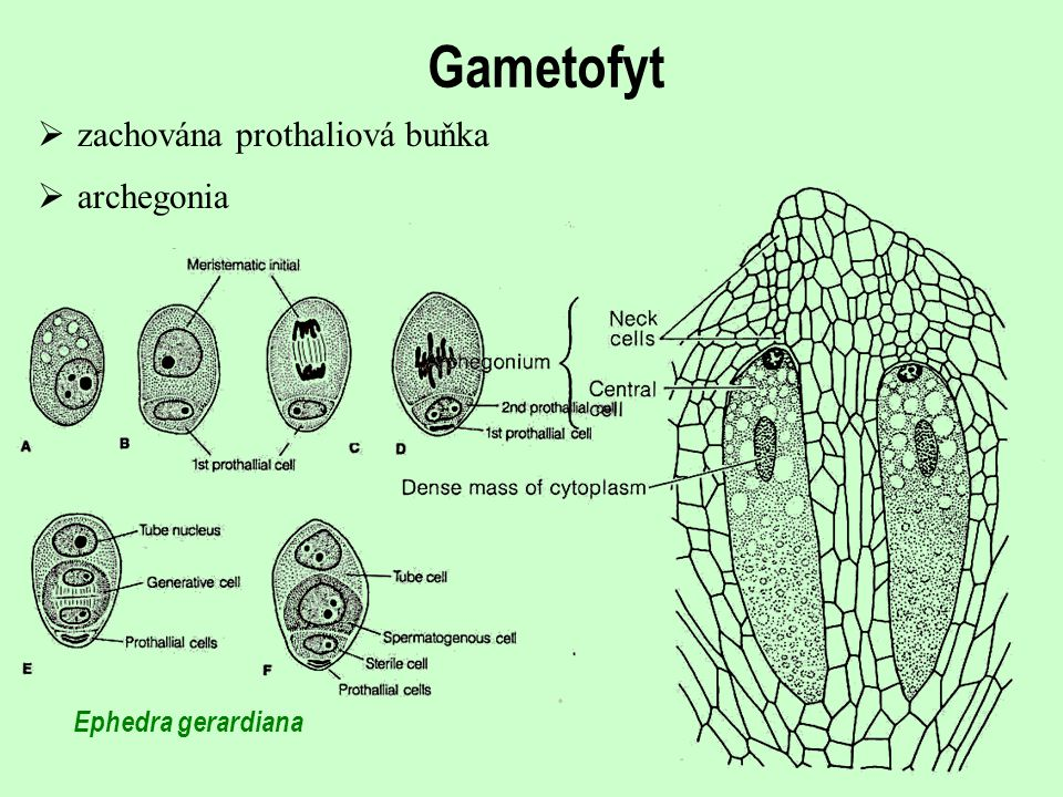 Gametofyt zachována prothaliová buňka archegonia Ephedra gerardiana