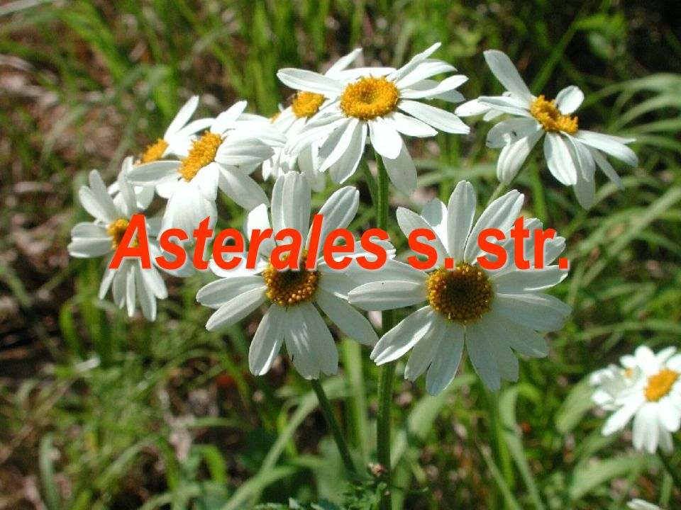 Asterales s. str.