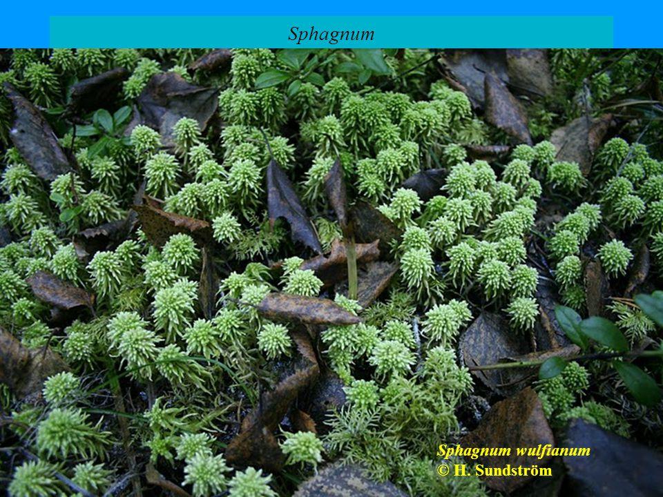 Sphagnum Sphagnum wulfianum © H. Sundström Sphagnum palustre