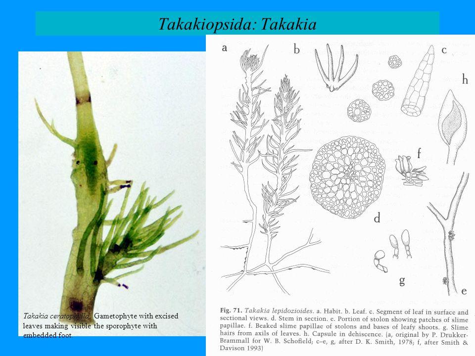 Takakiopsida: Takakia