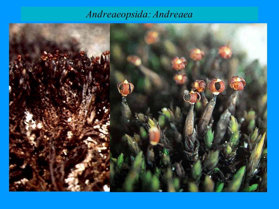 Andreaeopsida: Andreaea