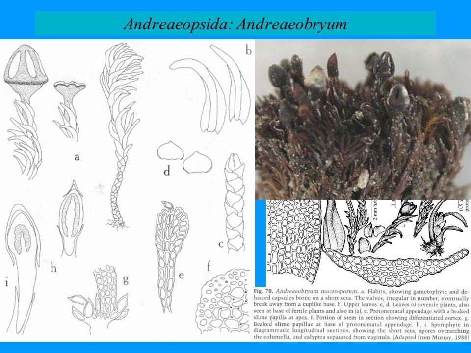 Andreaeopsida: Andreaeobryum