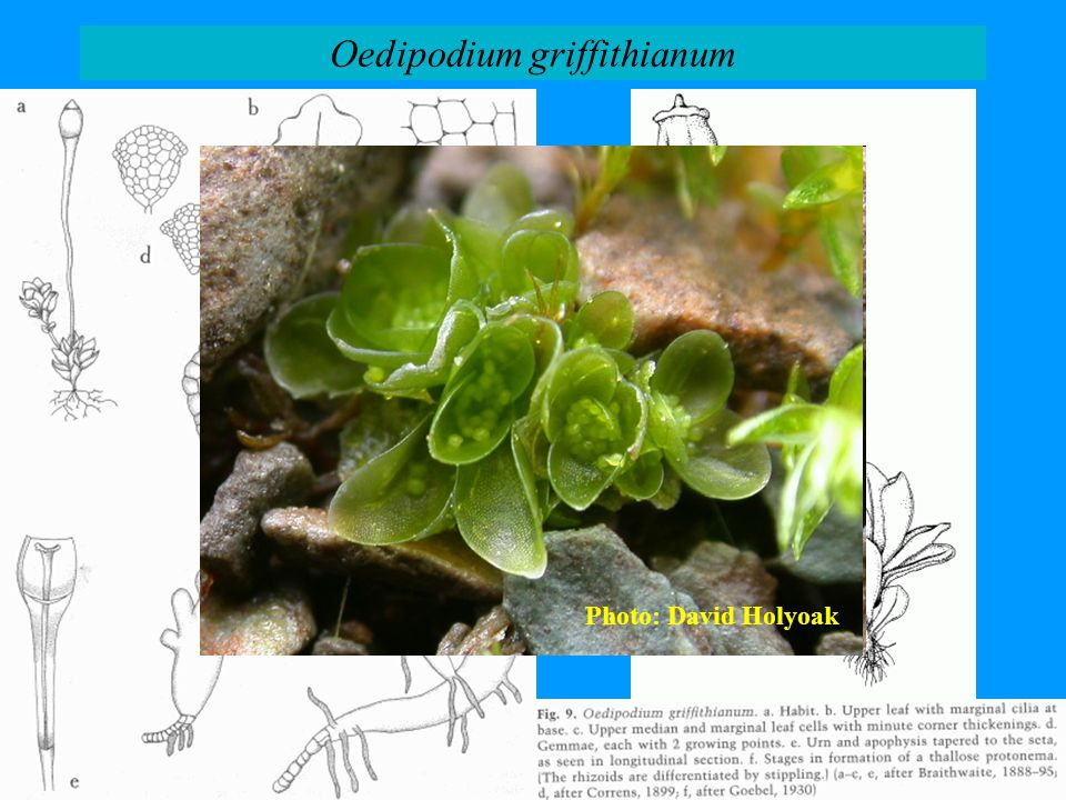 Oedipodium griffithianum