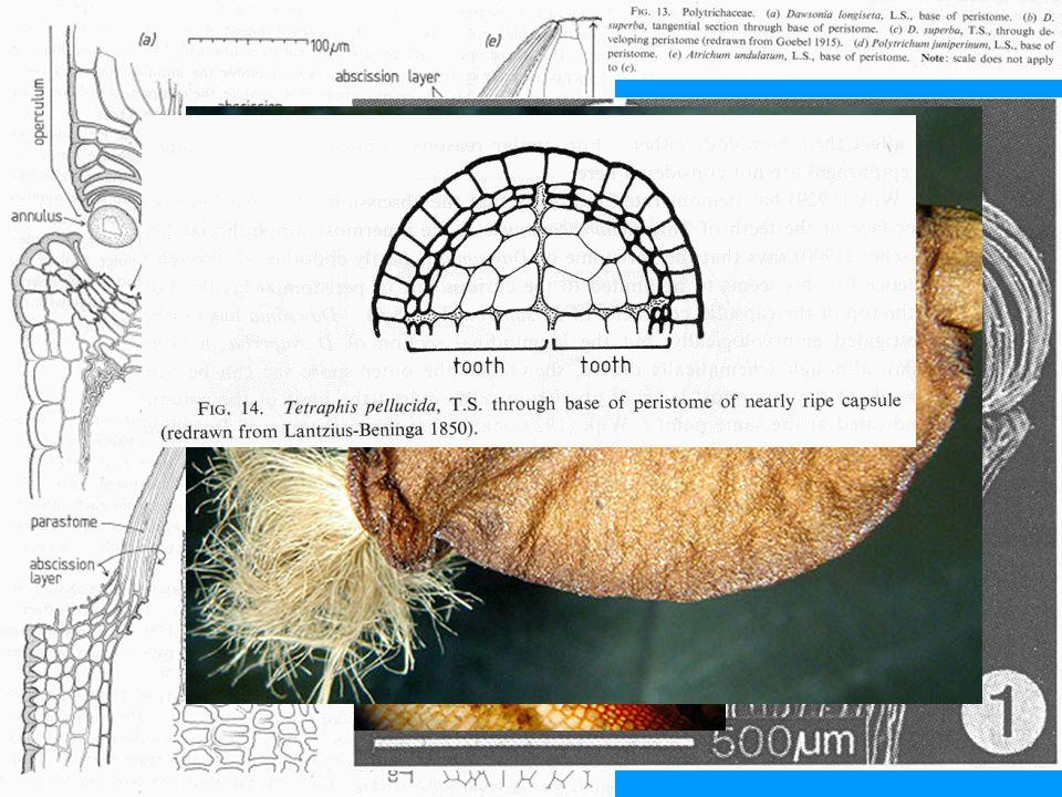 Polytrichopsida: nematodontní typ obústí