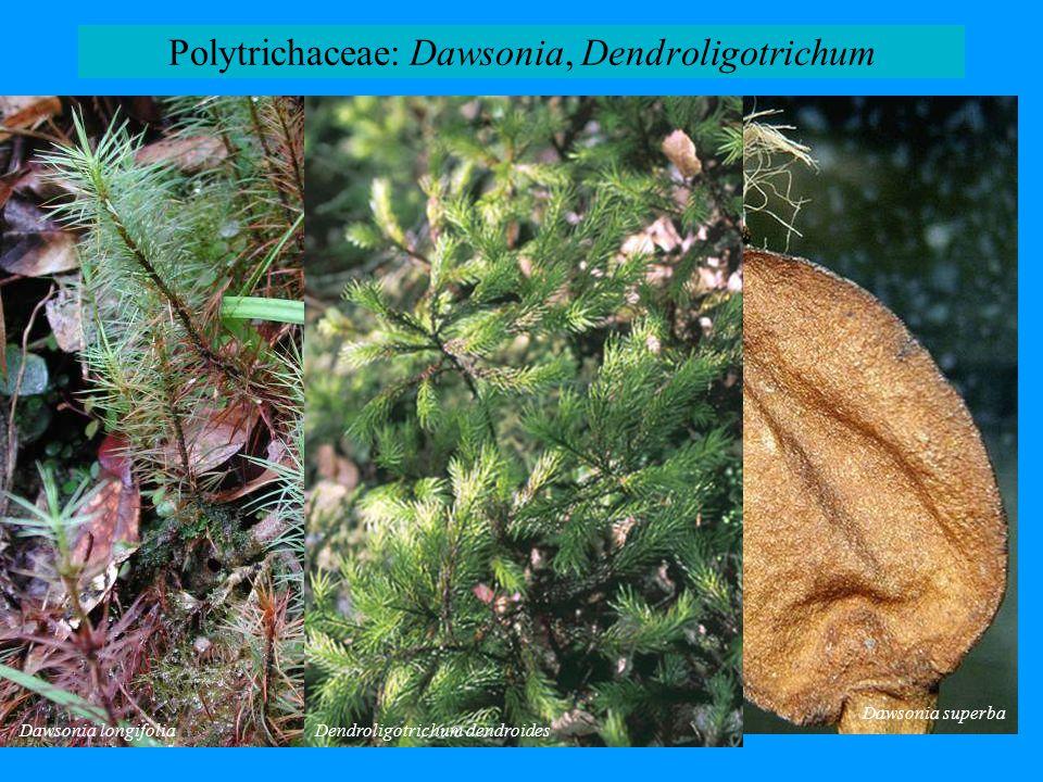 Polytrichaceae: Dawsonia, Dendroligotrichum