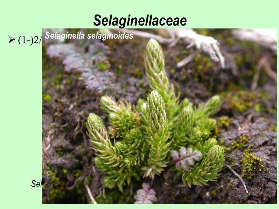 Selaginellaceae (1-)2/700, převážně horské oblasti tropů a subtropů