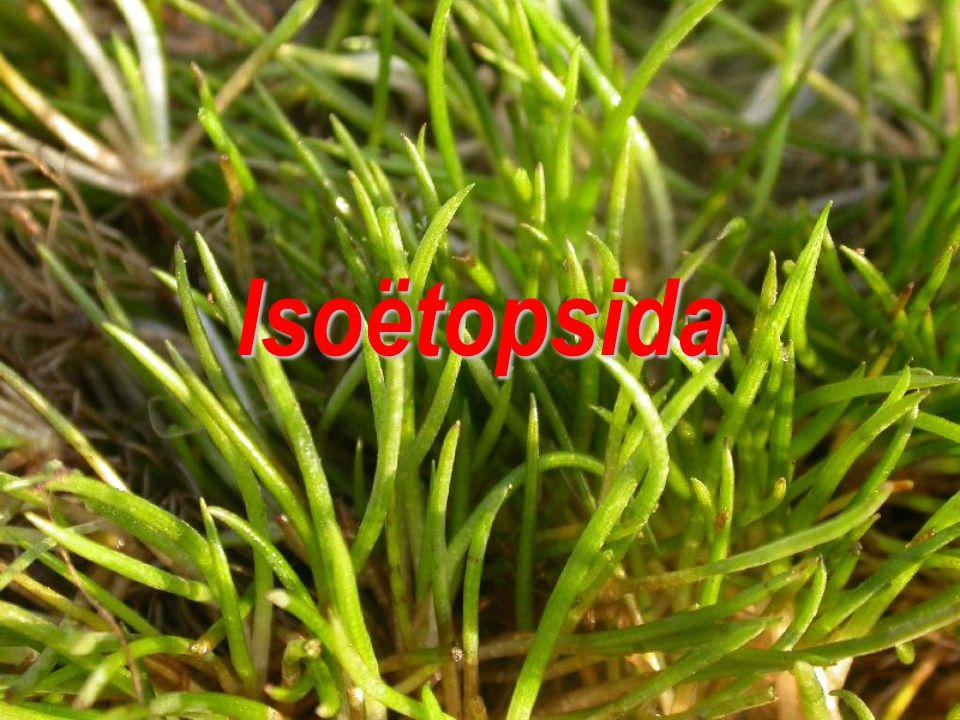 Isoëtopsida