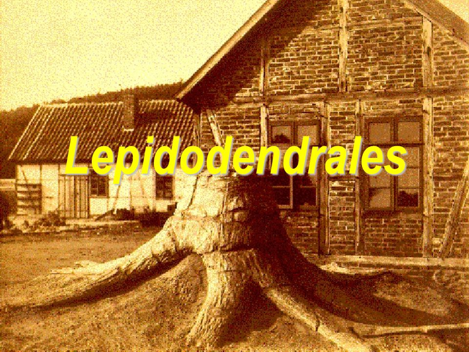 Lepidodendrales