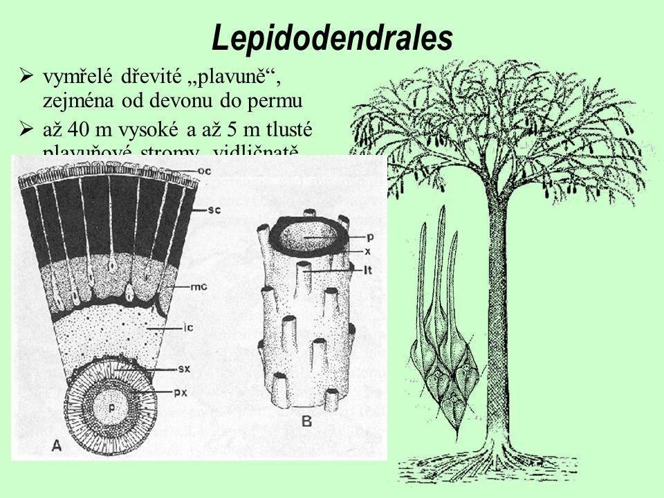 """Lepidodendrales vymřelé dřevité """"plavuně , zejména od devonu do permu"""
