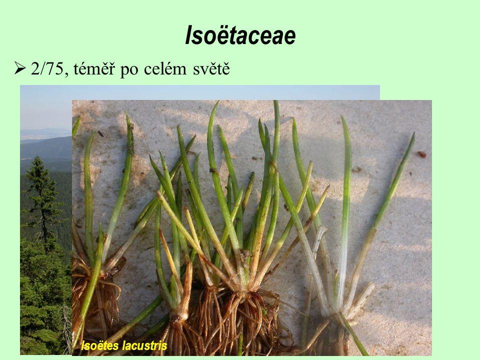 Isoëtaceae 2/75, téměř po celém světě Isoëtes lacustris