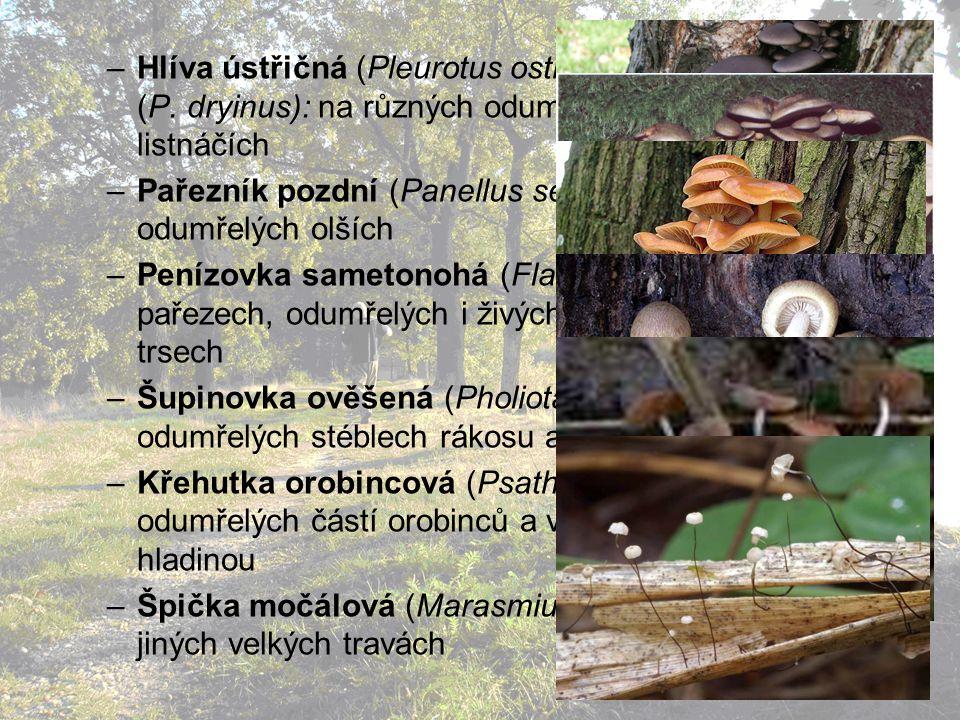 Hlíva ústřičná (Pleurotus ostreatus), Hlíva dubová (P