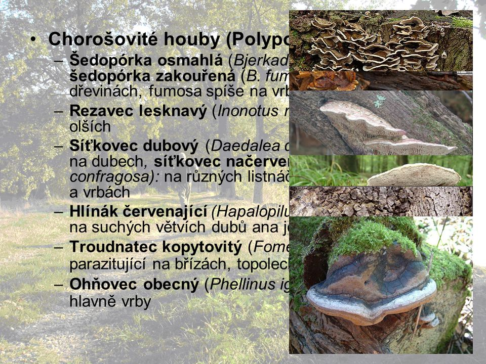 Chorošovité houby (Polyporales):