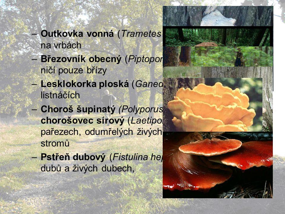 Outkovka vonná (Trametes suaveolens): především na vrbách
