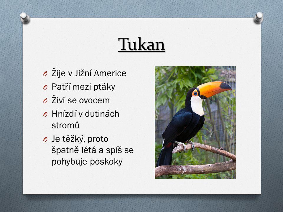 Tukan Žije v Jižní Americe Patří mezi ptáky Živí se ovocem