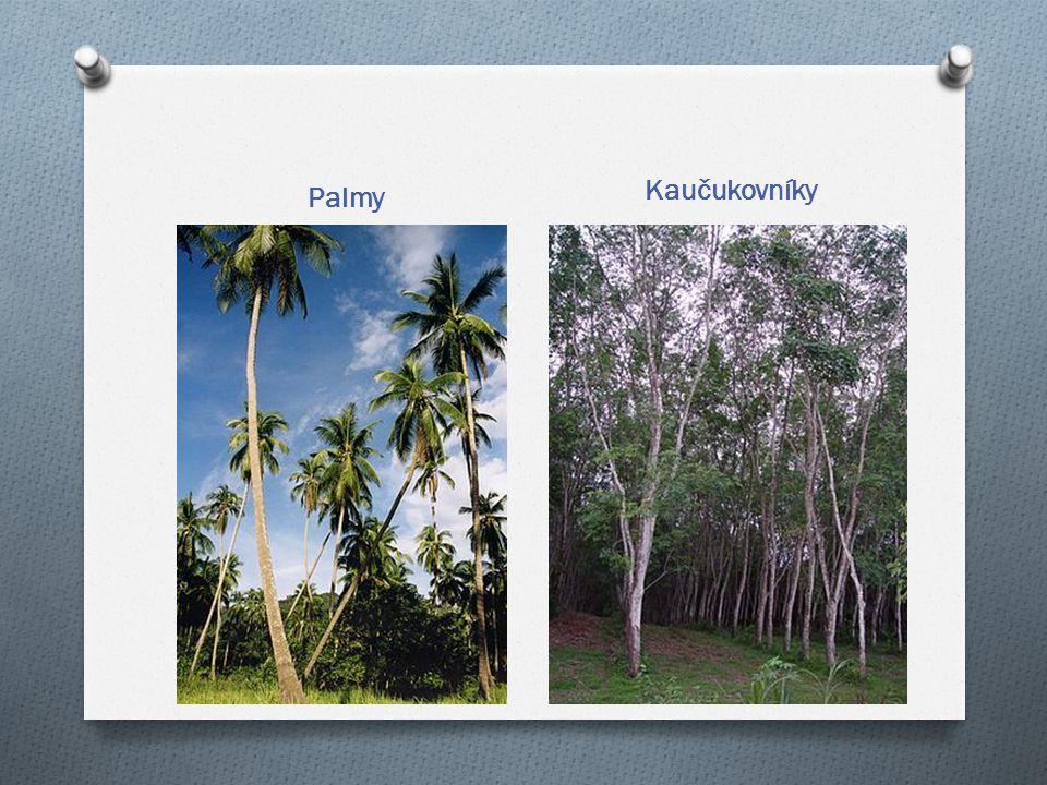 Kaučukovníky Palmy
