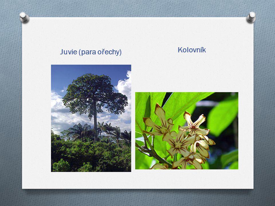 Kolovník Juvie (para ořechy)