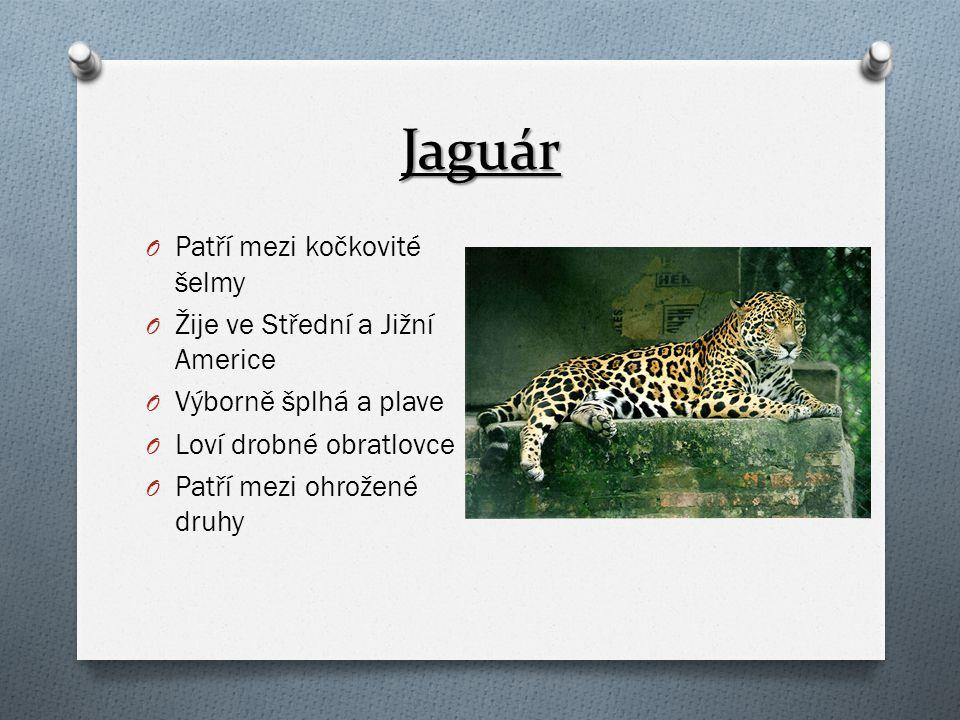 Jaguár Patří mezi kočkovité šelmy Žije ve Střední a Jižní Americe