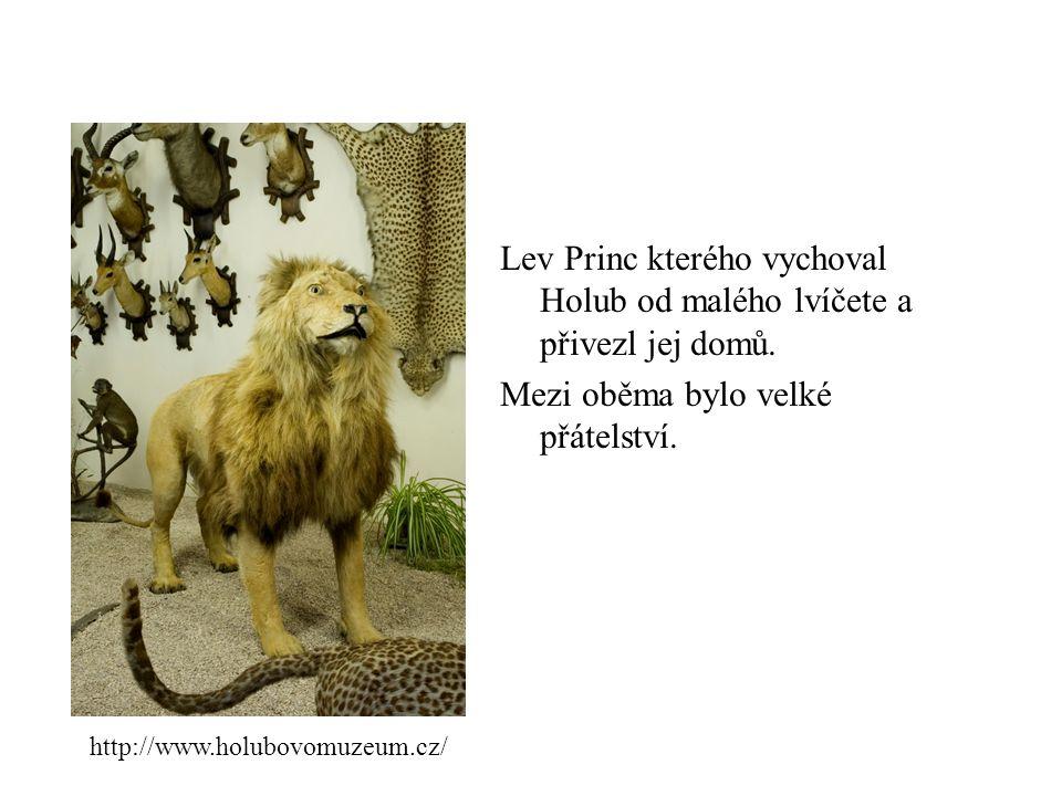 Lev Princ kterého vychoval Holub od malého lvíčete a přivezl jej domů