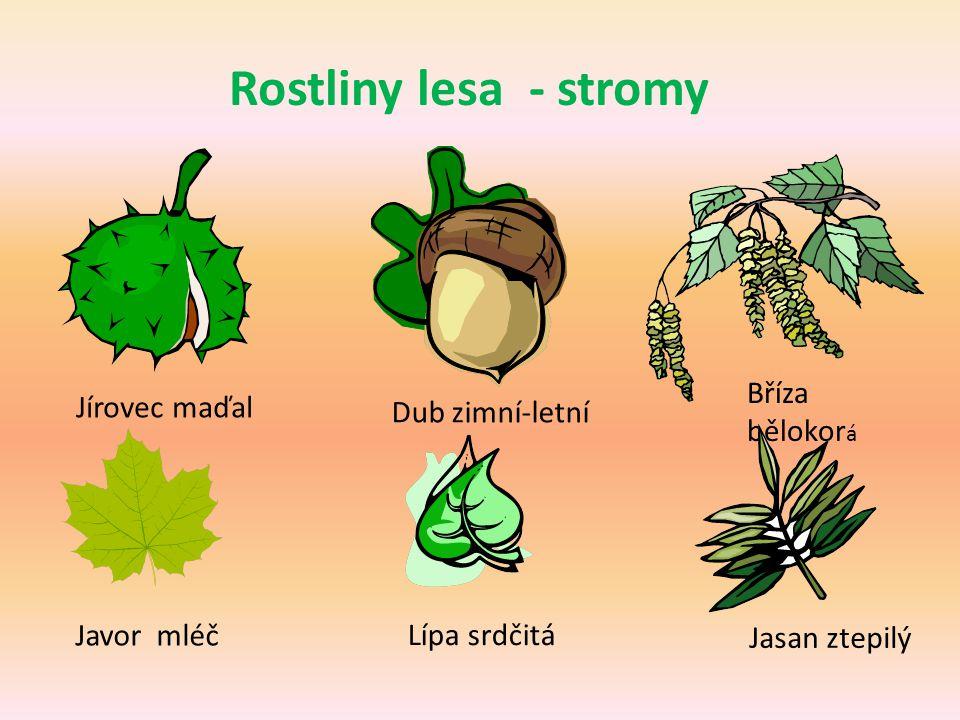 Rostliny lesa - stromy Bříza bělokorá Jírovec maďal Dub zimní-letní