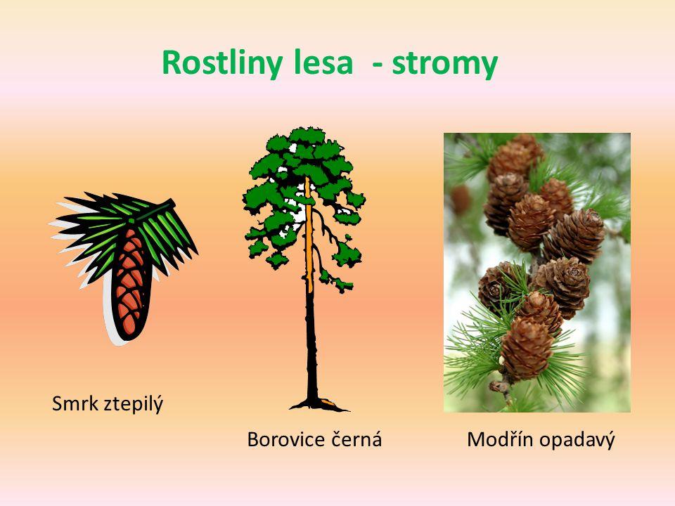 Rostliny lesa - stromy Smrk ztepilý Borovice černá Modřín opadavý