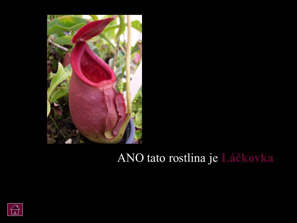 ANO tato rostlina je Láčkovka