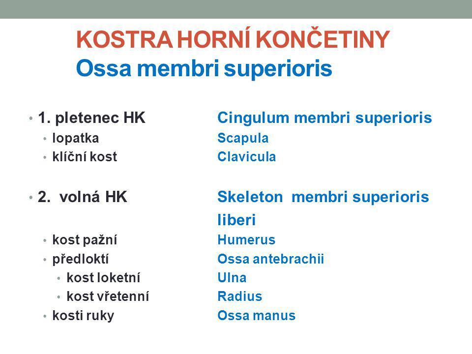 KOSTRA HORNÍ KONČETINY Ossa membri superioris