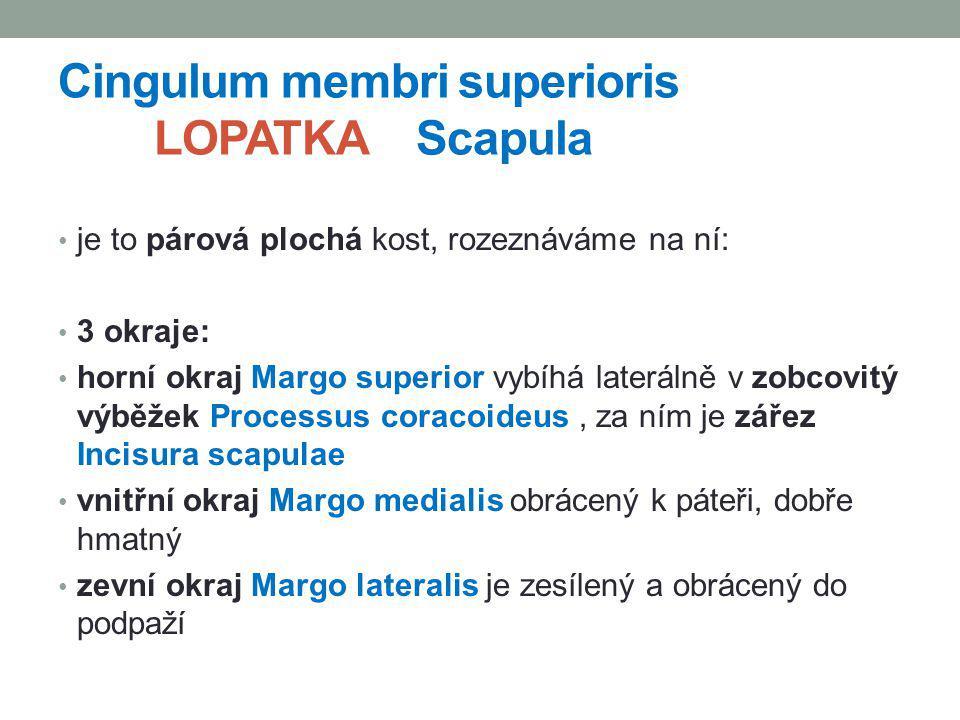 Cingulum membri superioris LOPATKA Scapula