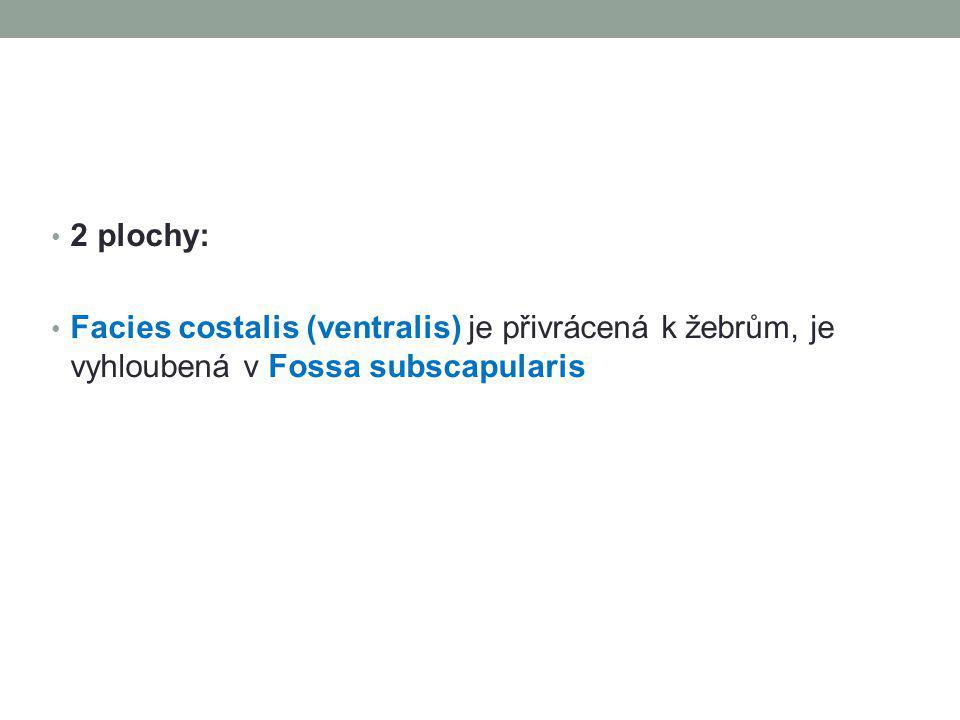 2 plochy: Facies costalis (ventralis) je přivrácená k žebrům, je vyhloubená v Fossa subscapularis