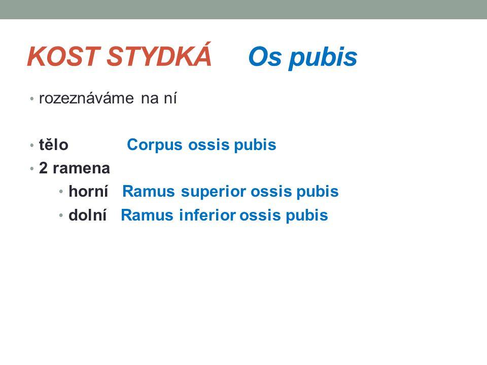 KOST STYDKÁ Os pubis rozeznáváme na ní tělo Corpus ossis pubis