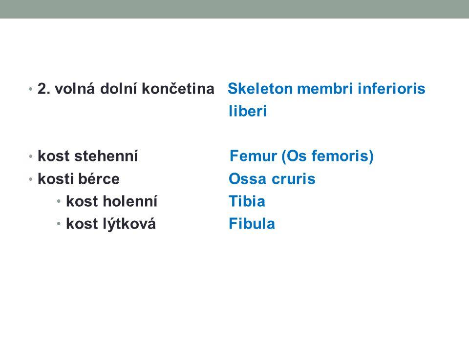 2. volná dolní končetina Skeleton membri inferioris