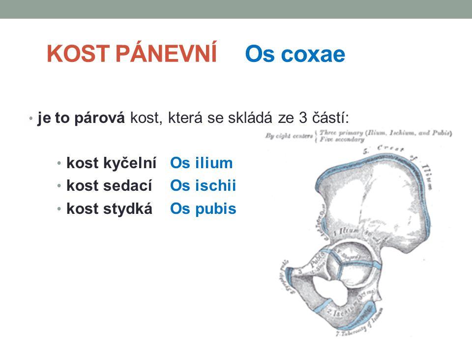KOST PÁNEVNÍ Os coxae je to párová kost, která se skládá ze 3 částí: