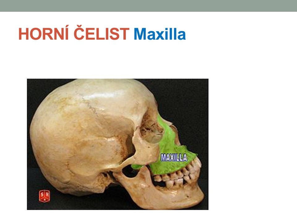 HORNÍ ČELIST Maxilla
