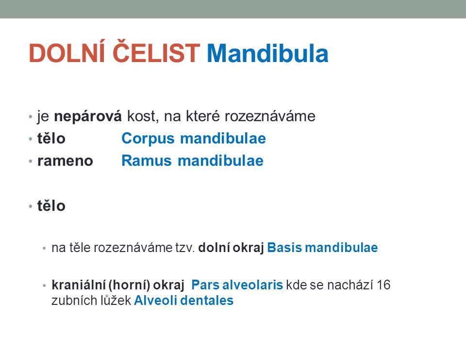 DOLNÍ ČELIST Mandibula