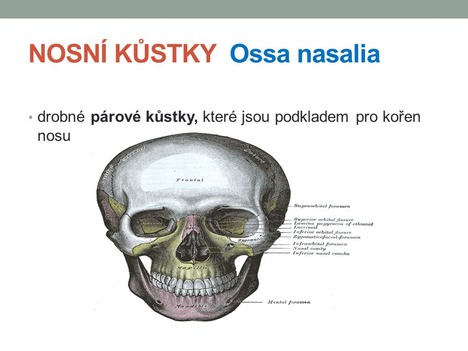 NOSNÍ KŮSTKY Ossa nasalia