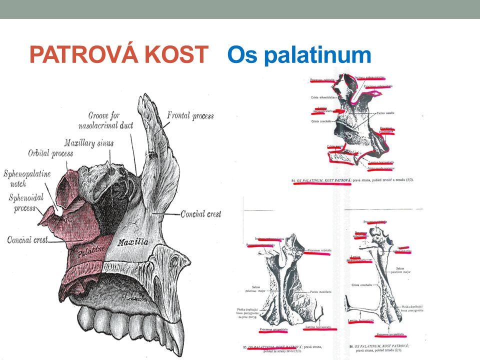 PATROVÁ KOST Os palatinum