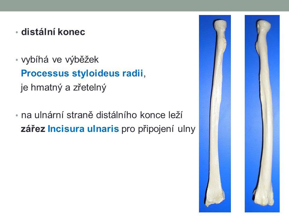 distální konec vybíhá ve výběžek. Processus styloideus radii, je hmatný a zřetelný. na ulnární straně distálního konce leží.
