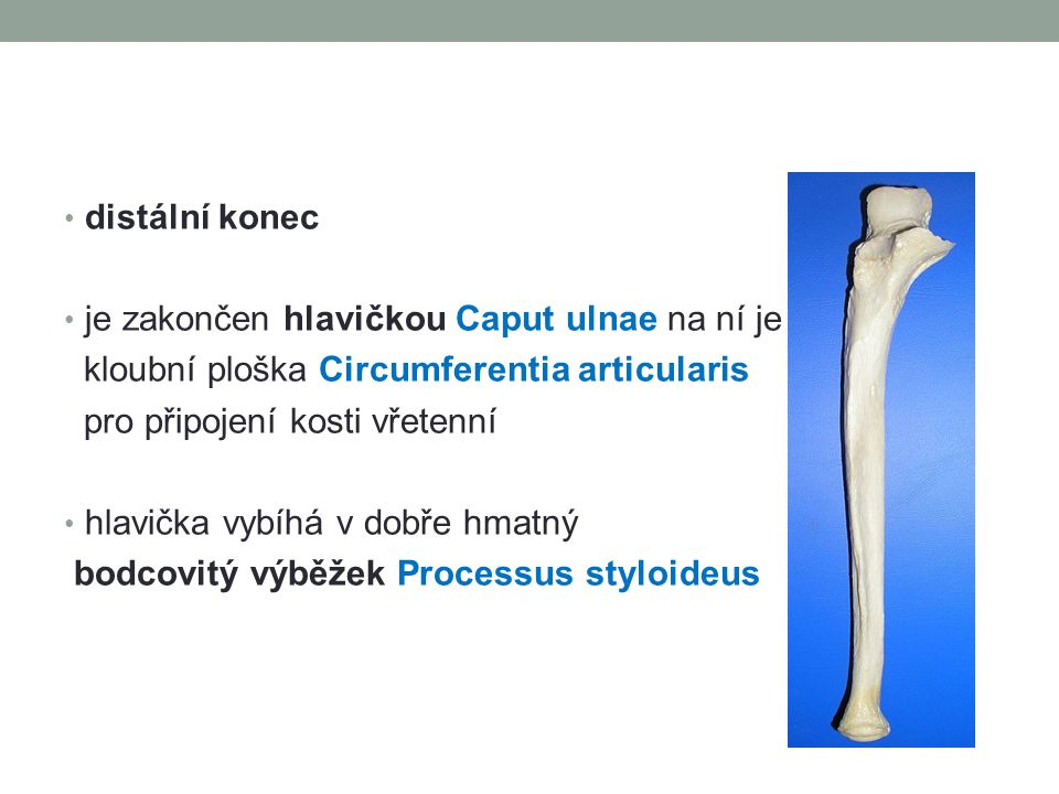 distální konec je zakončen hlavičkou Caput ulnae na ní je. kloubní ploška Circumferentia articularis.