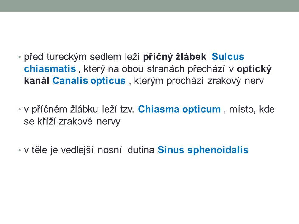 před tureckým sedlem leží příčný žlábek Sulcus chiasmatis , který na obou stranách přechází v optický kanál Canalis opticus , kterým prochází zrakový nerv