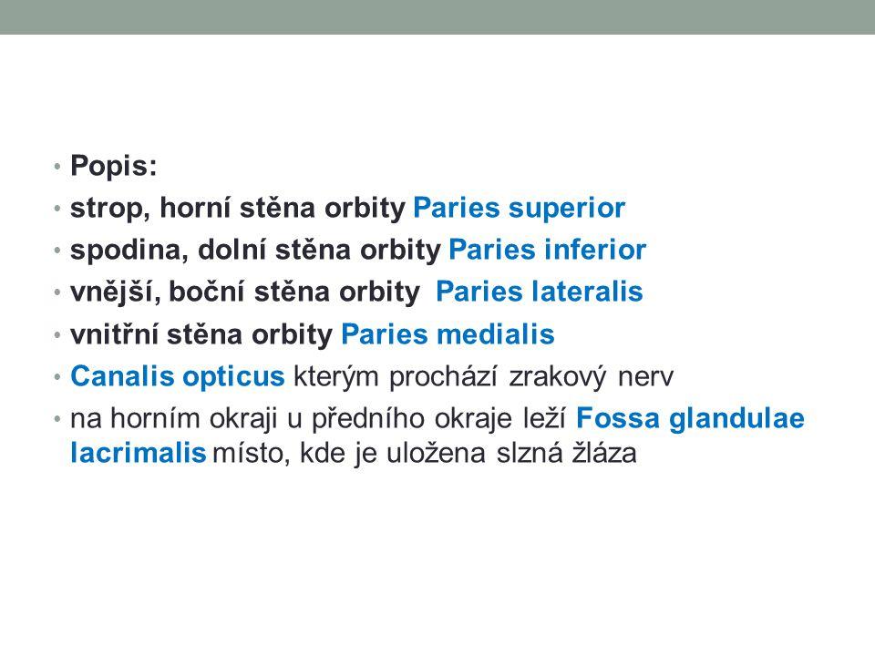 Popis: strop, horní stěna orbity Paries superior. spodina, dolní stěna orbity Paries inferior. vnější, boční stěna orbity Paries lateralis.