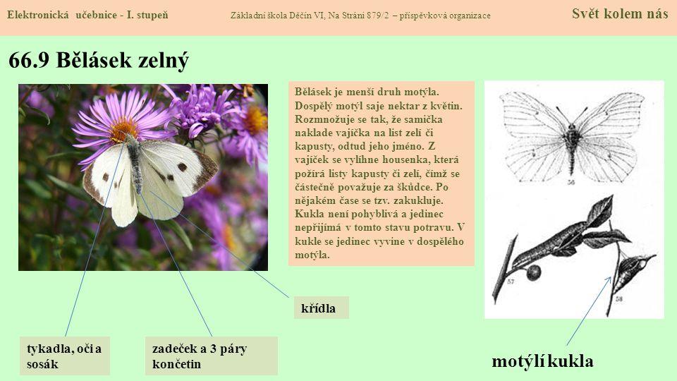 66.9 Bělásek zelný motýlí kukla křídla tykadla, oči a sosák