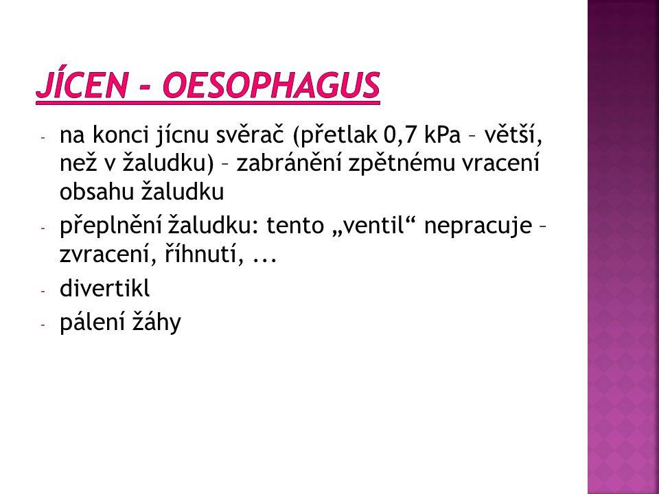 JÍCEN - OESOPHAGUS na konci jícnu svěrač (přetlak 0,7 kPa – větší, než v žaludku) – zabránění zpětnému vracení obsahu žaludku.