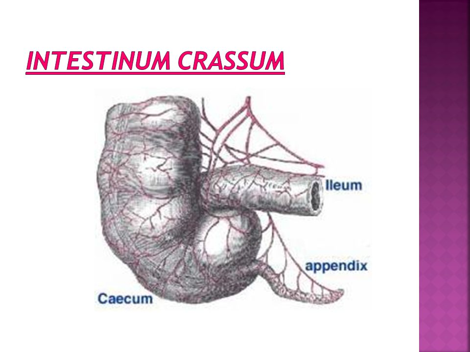INTESTINUM CRASSUM