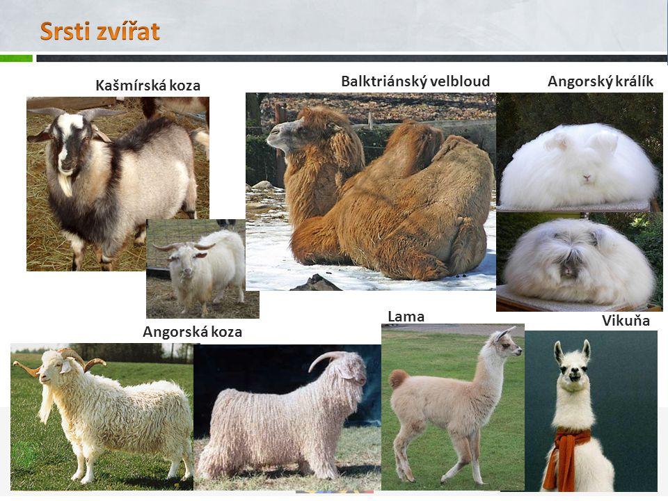 Srsti zvířat Balktriánský velbloud Angorský králík Kašmírská koza Lama